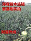 連翹,連翹樹苗,藥用連翹苗價格 0.3公分連翹苗