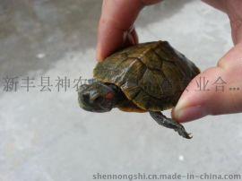 巴西龟活体 巴西龟苗稚龟小宠物