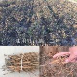 牡丹苗 油用牡丹苗價格 亳州牡丹苗批發廠家