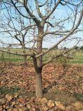 10公分绿化柿子树 12-15公分挂果柿子树