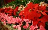 深圳圣诞节花卉盆栽厂家销售价格更优惠