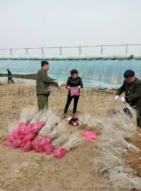 吉林省白刺果树苗报价,白刺果树苗种植基地