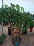 武汉绿植超大型幸福树盆栽,可租摆,武汉送货上门