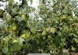 江蘇大豐2公分梨樹苗木基地價格