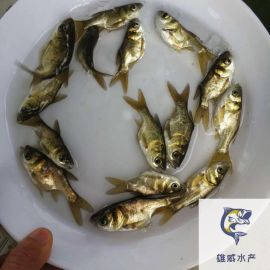 縮骨大頭魚苗批發縮骨花鰱魚苗供應價格仙骨大頭魚苗出售