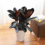 橡皮树黑金刚盆栽花盆苗客厅室内绿叶大叶型植物
