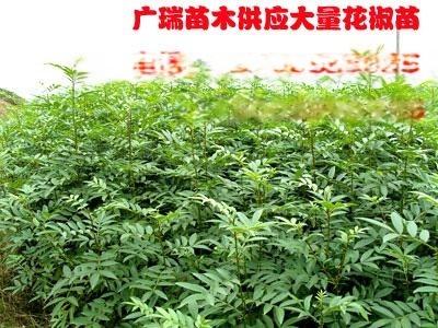 大紅袍花椒苗價格+河南花椒苗價格+韓城花椒苗價格