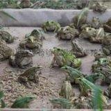 生态健康青蛙养殖技术