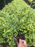 漳州立航 喬木灌木等綠化苗 東南花都花卉集散地