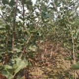 甜山楂树苗哪里有 甜山楂树苗多少钱