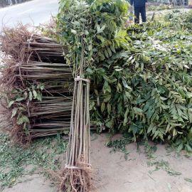 山东红油香椿 红油香椿苗基地 产量高 量大优惠