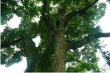 四川上千园林工程有限公司——您身边的成都桢楠及成都紫薇专家