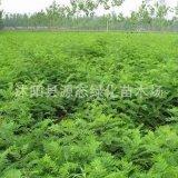 基地供应丛生紫穗槐 园林绿化工程紫穗槐苗 护堤护坡苗木 价格优