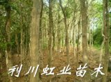 高山小葉瓜子黃楊/小葉黃楊價格
