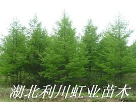 利川高山落叶松/米径8公分日本落叶松树苗