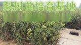 梨树成品苗=梨树成品苗价格=1年梨树苗价格