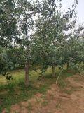 10公分梨树 12公分占地梨树多少钱