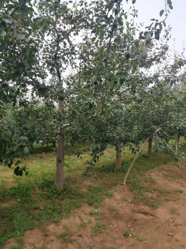10公分梨樹 12公分佔地梨樹多少錢