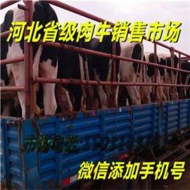 张北牛羊牲畜市场天天赶集买卖牛羊卖牛羊小牛崽种苗