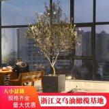 浙江西班牙橄榄树盆景