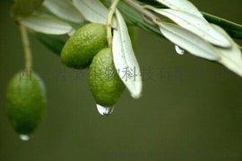 橄榄叶Olive Leaf P. E.
