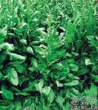 俄罗斯饲料菜种子