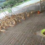 鸡场专用漏粪板 鸡用塑料漏粪板 鸡漏粪板厂家