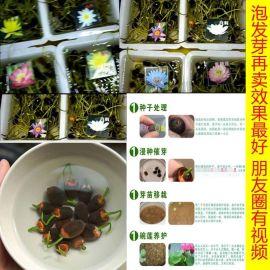 四季碗莲种子盆景1元一粒模式跑江湖地摊货源
