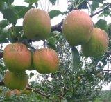 香酥梨榮盛 孟津榮盛