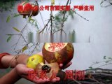 苏州石榴树 水晶石榴 大型石榴树种植基地