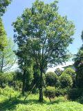 成都朴树-朴树基地-朴树报价-朴树图片-名川园艺场