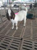 波尔山羊肉羊 波尔山羊厂家 农家养殖波尔山羊价格