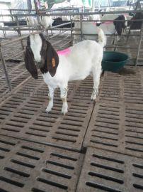 波爾山羊肉羊 波爾山羊廠家 農家養殖波爾山羊價格