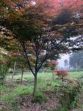 红枫 成都红枫基地 四川精品红枫基地