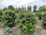 成都茶花球基地郫都区名川园艺场供应茶花球