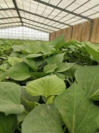 脫毒紅薯苗-高產紅薯苗大量供應