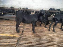 努比亚黑山羊