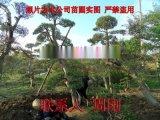 蘇州別墅苗木種植基地 高端庭院造型景觀樹苗圃