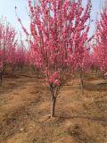 安徽合肥苗圃供应红叶碧桃,丛生紫荆,花石榴,木槿