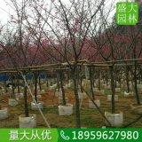 福建山樱花供应商电话,质量好的福建山樱花多少钱