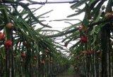 建一個五畝地火龍果薄膜種植園需要投資多少