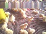家禽养殖厂专用塑料网 南方专用塑料小孔养鸡网