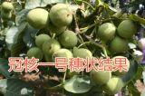 甘肅核桃苗,最適合栽植品種,高產抗病強