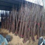 丰园红杏树苗 自己嫁接 品种纯正 当年结果 产量高