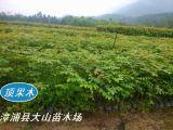 頂果樹造林苗,替代桉樹造林,經濟林木