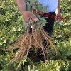 2年牡丹苗 山西3年牡丹苗种植户 3年油用牡丹苗