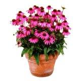 散装松果菊种子**紫锥花紫松果菊红菊花原松果菊种子花卉种籽