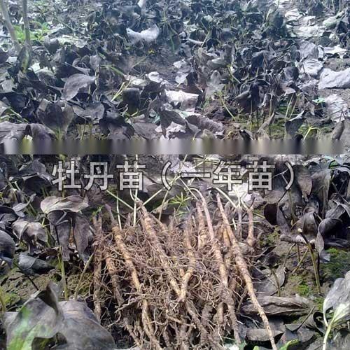 亳州油用牡丹苗價格批發 牡丹苗價格