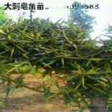 皂角苗,皂角苗种植,皂角苗基地