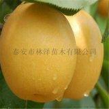 露天栽植1公分秋月梨树苗成活率高